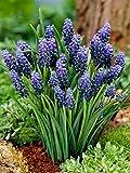 12 Bulb Plant Muscari Neglectum