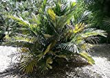 10 Seeds Arenga Engleri Dwarf Sugar Palm
