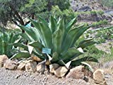 Agave salmiana ferox HUGE HARDY AGAVE Exotic SEEDS!