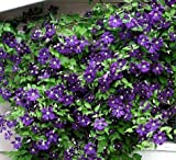 Clematis Jackmanii Vine - Velvety-Purple - 2.5 Pot by Hirts: Vines & Groundcovers; Clematis