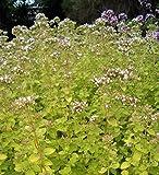 """Golden Oregano/Marjoram Herb - Good Scents/Good Groundcover - 4.33"""" Pot"""