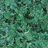 Salad Burnet - Sanguisarba minor - 500 Seeds