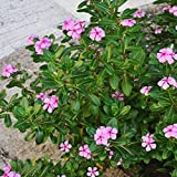 Potato001 20Pcs Madagascar Periwinkle Seeds Catharanthus Roseus Plant Home Garden Flower