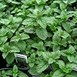 """Clovers Garden Peppermint Mint Herb Plants- Non GMO- Two (2) Live Plants - Not Seeds -Each 4""""-7"""" tall- in 3.5 Inch Pots"""