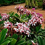 1 Cutting of Plumeria Dwarf Obtusa Pink
