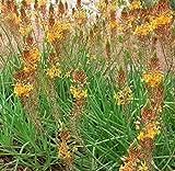 20 Bulbine frutescens Seeds, Stalked Bulbine, Yellow Flower Seeds