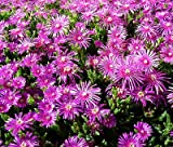 ICE PLANT PINK TABLE MOUNTAIN Delosperma Cooperi - 200 Bulk Seeds