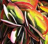 Kalanchoe thyrsiflora 10 seeds Exotic succulents Showy CombSH C43