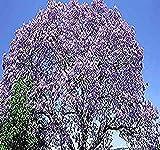 Paulownia fortunei Tree Seeds, aka Dragon Tree, Fortunes Empress Tree, Sapphire Tree, Phoenix Tree - By MySeeds.Co (Paul Fortunei x 1 Pack)