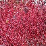 Coral Bark Dogwood (Siberian Tatarian Dogwood) Cornus Alba Sibirica, Shrub 20 Seeds