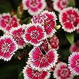 Dianthus Floral Lace Series Flower Seeds - Picotee - 100 Seeds - Annual Flower Garden Seeds - Dianthus chinensis x barbatus