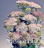 New MIX Throatwort(Trachelium Caeruleum) Nectar plants 50+ seeds - MIX