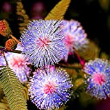 20pcs 6 Colors Yellow Pink Red Mimosa Pudica Bonsai Seeds Flowers Sensitive Plant Home Garden Bonsai DIY Perennial