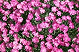 "(25 Plants Classic Pint) Dianthus gratianopolitanus Firewitch - Cheddar Pinks Dianthus a Showy Profusion of Fragrant, Magenta Pink, 1"" Blooms Cover The Foliage in Spring."