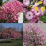 FLOWERING ALMOND Prunus Triloba - 40+ SEEDS
