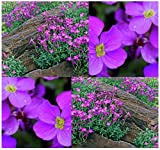 4 Packs x 300 Purple Rockcress - Aubrieta deltoidea Seeds - PURPLE OR BLUE FLOWERS For GORGEOUS GROUND COVER & Rock Garden - PERENNIAL Hardy Zones 4 To 8 - By MySeeds.Co
