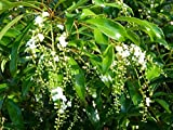 Citharexylum Fruticosum Fiddlewood Fragrant Native Plant