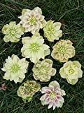 Saavyseeds Golden Discovery Lenten Rose Hellebores Rose Seeds - 11 Count - Fragrant Rose Bush