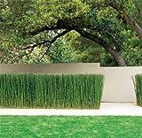12+ Horsetail Reed Grass Looks Like Mini Bamboo (Equisetum hyemale) Pond Plant