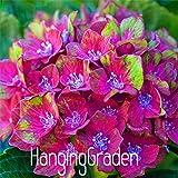 100pcs/lot Hydrangea macrophylla39;Glam Rock39; (Horwack) seeds beautiful flower bonsai plant DIY home garden,068PJG