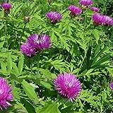 50 Cornflower Pink Lavender Centaurea Dealbata Seeds Garden Seeds 2u