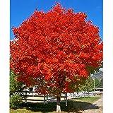 October Glory Red Maple Tree - Live Plant - Quart Pot