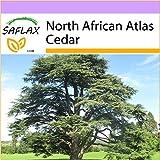SAFLAX - North African Atlas Cedar - 20 Seeds - Cedrus atlantica