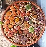 Mix Lithops Aucampiae Amazing Succulent Plant