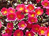 "1000 ""Gruner"" Red Purslane Seeds / Specialty Greens"