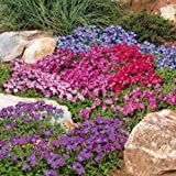 "AUBRIETA ~Royal Mix~ ""Rock Cress"" ~Dwarf Ground Cover 25+ Perennial Seeds"