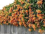 Chinese Orange Pyrostegia venusta Perennial Climbing Plant Seeds, Professional Pack, 5 Seeds / Pack
