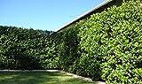 Sweet Viburnum Odoratissimum Qty 80 Live Plants Privacy Hedge