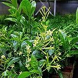 """Ohio Grown Night Blooming Jasmine Plant - Cestrum nocturnum - 4"""" Pot"""