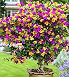 Solution Seeds Farm Heirloom 200 Seeds Mix Color Bougainvillea Balcony pot, yard bonsai flower seeds immensely showy, floriferous hardy plant seeds (SEEDS)
