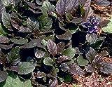 """Bronze Beauty Ajuga 24 Plants - Carpet Bugle - Very Hardy - 1 3/4"""" Pots"""