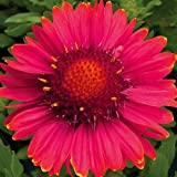 Burgundy Blanket Flower - Gaillardia - Quart Pot by Hirts: Perennials; Sun