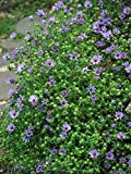 Perennial Farm Marketplace Aster o. 'October Skies' ((Aromatic) Perennial, Size-#1 Container, Lavender Blue Flowers