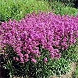 1000 TALL PINK CATCHFLY (Campion / None So Pretty) Silene Armeria Flower Seeds