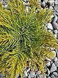 1 Starter Plant of Hebe Ochracea 'James Stirling'