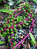 Phytolacca rivinoides - Venezuelan Pokeweed - Rare Tropical Plant Seeds (5)