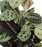 "Shop Succulents | Maranta Red 'Prayer Plant', Naturally Air Purifying House Plant, Easy Care, Live Indoor House Plant in 4"" Pot"