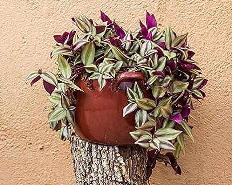 Vamsha Nature Care Live Indoor Love Plant Wandering Jew Plant Tradescantia Pallid Amazon In Garden Outdoors