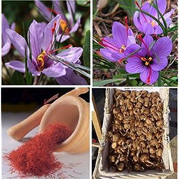 Amazon.com : Saffron Crocus 10 Bulbs + Saffron Bulb Food ...
