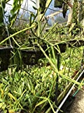 Rhipsalis (Cactus) grandiflora - Orchid Plant - Easy-Grower - Indigenous to Brazil