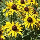 Outsidepride Rudbeckia Hirta Black-eyed Susan Flower Seeds - 5000 Seeds