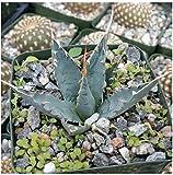 1 Starter Plant of Agave Utahensis Var. Eborispina
