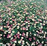 100 Erigeron Karvinskianus Seeds a.K.a Santa Barbara Daisy and Mexican Daisy