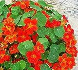 100% Genuine! New Garden Plant 10pcs Fresh Colorful Tropaeolum majus Nasturtium Seeds Easy Planting flower Hanging Plants