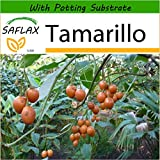 SAFLAX - Tamarillo - 50 Seeds - with Soil - Cyphomandra betacea