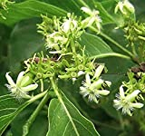 Vangueria Meyna spinosa 5 seeds Small Tree Tropical Shrub Bonsai container or Standard Rare Very Rare! White Star Flowers Drought Tolerant